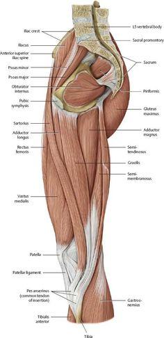 Leg Muscles Anatomy, Hip Anatomy, Muscular System Anatomy, Gross Anatomy, Human Body Anatomy, Muscle Anatomy, Anatomy Study, Anatomy Art, Thigh Muscles