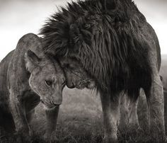 Nick Brandt's amazing photo - I saw his exhibition On This Earth, A Shadow Falls at Fotografiska Museum, it was great