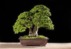 Bonsai Design | The Bonsai Blog of Budi Sulistyo