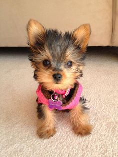 Yorkie dogs - Facts On The Sprightly Yorkie Dogs Personality yorkshireterrierstyle yorkshireterrierfortaleza Sweet Dogs, Rottweiler Puppies, Lab Puppies, Beagle Dog, Yorkshire Terrier Puppies, Terrier Dogs, Bull Terriers, Yorkie Puppy, Yorkie Teacup Puppies