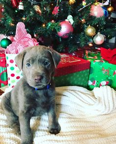 Boomer our early Christmas present to ourselves! #dogpictures #dogs #aww #cuteanimals #dogsoftwitter #dog #cute