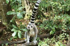 Ring-tail lemur Monkeyland