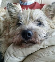Cairn terrier Eddie.  Looking forward to our new cairn puppy in January.  What a face.
