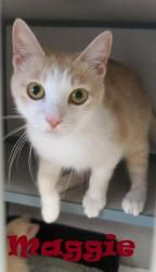 Maggie is an adoptable Domestic Short Hair - Buff And White Cat in Henderson, KY. I am ready for my new home! Please come save me today! My adoption fee includes ALL of the following: Spay/Neuter, Mic...