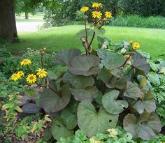 Ligularia dentata desdemona 'leopard plant'- butterfly friendly