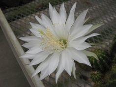 echinopsis calochlora - Pesquisa Google
