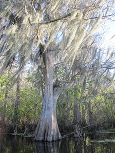 Old Florida cypress trees in the water...awesome.    Cypress Tree in the Hillsborough River, Tampa, FL