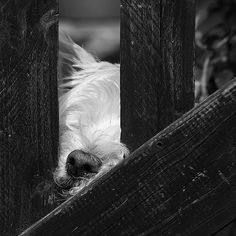 A Westie will sleep anywhere, any time in any position'