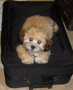My shihpoo Cash at 4 months old. My monkey doesn't want someone to leave.