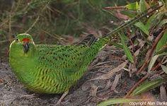 Image result for tasmanian ground parrot
