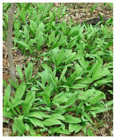 Identifying and Sustainably Harvesting Ramps (Allium tricoccum) | The Foraged Foodie