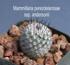"""#6822 - 2¼""""pot - $5.00 - round body eventually club-shaped, dense silver-white radial spines, hooked black central spines, light pink flowers in winter"""