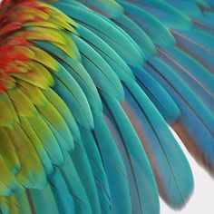 I love the brilliant feathers of this Green Wing Macaw.  #scalesandtailsutah has generously allowed me to photograph many of their animals for my products including Chicken here.  For great animal themed invitations and decor go to www.mbpartyboutique.com . #greenwingmacaw #feathers #rainbow #animalkingdom #animalphotography #birdphotography #bird_brilliance #birdsofinstagram #macaw #goodtimes #partytime #custominvitations #partydecor #partyideas #birdparty #avian #aviary #closeup #gorgeous…