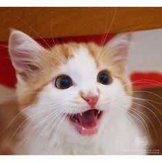 "From @galleriestgery: ""Freddie loves life "" #twitterweek #catsofinstagram #cat #animals #love #instafollow"
