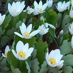 Maine Wildflower: Blood-root (Sanguinaria canadensis)