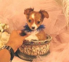 Tea cup chihuahua puppy Cute Chihuahua, Chihuahua Puppies, Baby Animals, Cute Animals, Lil Sweet, Very Small Dogs, Mixed Breed, Puppys, Dog Toys