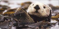 Alaska Salmon Fishing: Salmon Fishing For King, Sockeye And Silver Salmon All Gods Creatures, Cute Creatures, Beautiful Creatures, West Coast Fishing, Beaver Animal, Alaska Salmon Fishing, Baby Sea Otters, Otter Pops, Wild Animals Photos