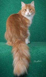 For Sale Toyger Cats For Sale Toyger Cats up For Stud