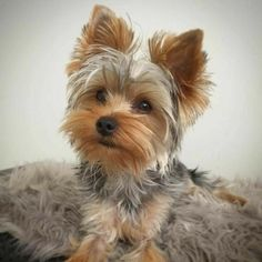 Teacup Puppies, Cute Puppies, Cute Dogs, Corgi Puppies, Yorky Terrier, Bull Terriers, Baby Animals, Cute Animals, Dog Line