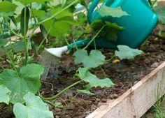 Огурцы очень любят влагу, но переливы вполне могут привести к заболеваниям