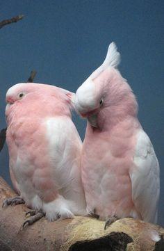 Pretty Major Mitchell cockatoos- beautiful