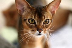Abyssinian Cat Personality | ... wonderful personality and stunning good looks to Abytopia's family