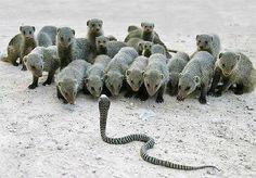 Group of Banded Mongoose facing a Rinkhals ( Spitting Cobra)