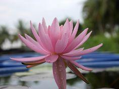 Nymphaea 'Peanghom' Hardy Waterlilies |  บัวฝรั่งสัญชาติไทย 'แป้งหอม'