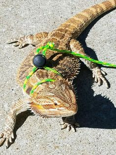 Check out this item in my Etsy shop https://www.etsy.com/listing/539293114/bearded-dragon-harnessleash-10-ft