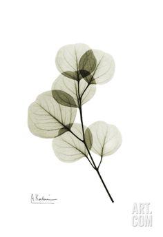 Eucalyptus Art Print by Albert Koetsier at Art.com