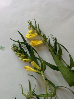 Kangasmaitikka (Melampyrum pratense), Vääksy
