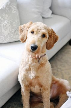 In this article, we will be discussing Goldendoodle grooming. We will outline the most important steps on how to groom a Goldendoodle, and we will even touch a little bit on Goldendoodle grooming styles. Mini Goldendoodle, Goldendoodle Haircuts, Goldendoodle Grooming, Dog Haircuts, Dog Grooming, Goldendoodles, Brown Labradoodle, Labradoodle Breeders, Poodle
