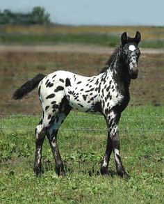 Friesian Appaloosa colt