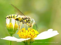 Macro yellowjacket, bee, macro, art, insects, bugs