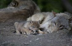 A Wolf Pup for Zoo Zurich! - ZooBorns