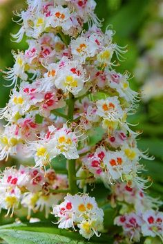 Wow horse chestnut flowers