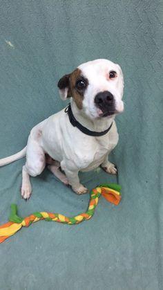 "ADOPTED!!! - 9/20/16 - STATESBORO, GEORGIA - ""FRECKLES"" - THIS DOG TO BE KILLED TOMORROW - 9/21/16!  BEAUTIFUL,  SWEET DOG! PLEASE SAVE HIM!"