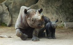 The black rhino has suffered the most drastic decline in total numbers of all rhino species and was officially declared extinct in the wild in 2011. However a major conservation effort has seen numbers swell to 5,000 and now the animals are kept under armed guard.
