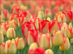 Tulip Flower Images Red Yellow
