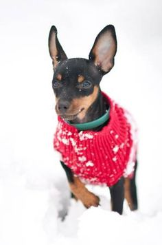 737 best Min Pins images on Pinterest | Min pin puppies ...