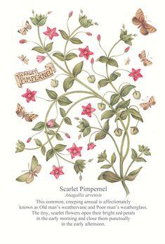 Scarlet Pimpernel (8 am)