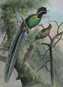 The Huon astrapia (Astrapia rothschildi) is a species of bird-of-paradise, distributed and endemic to the mountain forests of Huon Peninsula, Papua New Guinea. Its diet consists mainly of fruits and seeds.