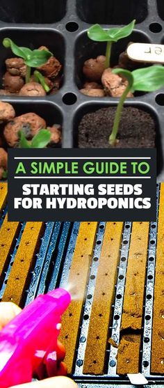 Starting seeds for hydroponics doesn't have to be difficult. In fact, it's really easy! Learn how to do it in 10 minutes with this Epic Gardening tutorial! #hydroponicseasy