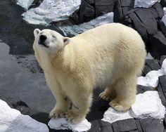 Lesbian polar bear that died of heartbreak??
