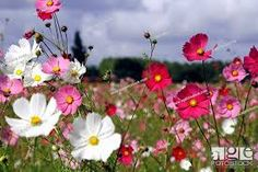 cosmos flowers images - Google Search Cosmos Flowers, Images Google, Google Search, Plants, Plant, Planets