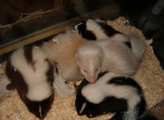 Oh My GOODNESS!!  I love skunks!!!
