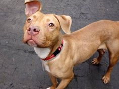 SAFE - 04/08/15 --- Manhattan Center   JOYA - A1031539  *** EXPERIENCED HOME ***  FEMALE, TAN, PIT BULL MIX, 2 yrs OWNER SUR - EVALUATE, NO HOLD Reason NO TIME  Intake condition EXAM REQ Intake Date 03/28/2015 https://www.facebook.com/photo.php?fbid=986626208016925