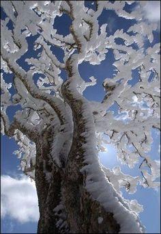 Wind-sculpted, ice-laden tree - via: crescentmoon06 - Imgend