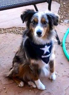 50 Best 4 Legged Fans Images In 2014 Dallas Cowboys