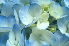 Blue Hydrangea Petals, for my aisle